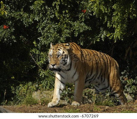 A siberian tiger (Panthera tigris altaica) walks out of bushes on a fine sunny day.