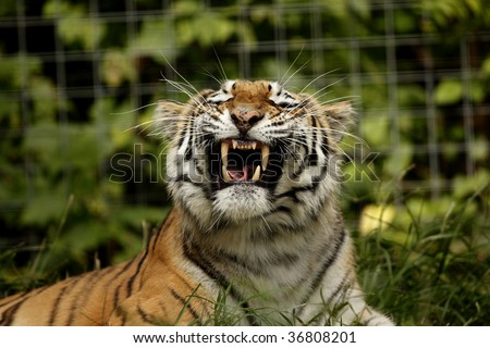 A siberian tiger showing his teeth. - stock photo