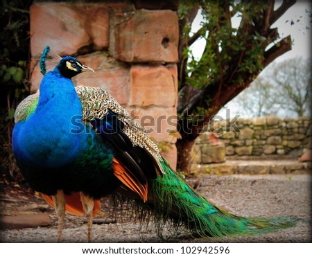 A side on shot of the full length of a Peacock, with its tail down. It stands in front of a stone wall and gravel drive background. - stock photo