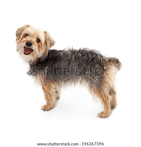 A side view of a cute Yorksire Terrier mixed breed standing dog with a happy expression - stock photo
