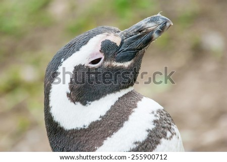 A side view of a magellanic penguin standing in nature and lifting his head upwards in Punta Arenas, Chile. - stock photo
