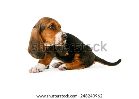 A side view of cute little Basset Hound breed puppy dog looking backwards - stock photo