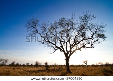 A silhouette of a large tree in africa - stock photo