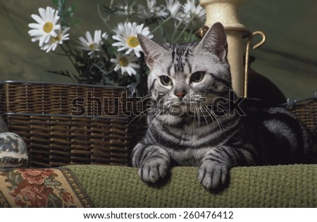 a silver classic tabby american short hair lying on a green fancy rug with some wicker basket and daisies in the background - stock photo