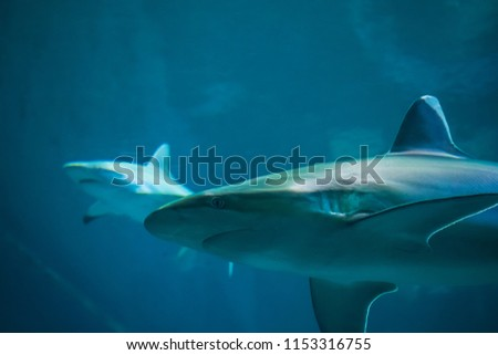Silvertip Shark Swimming Blue Water Aquarium Stock Photo Edit Now