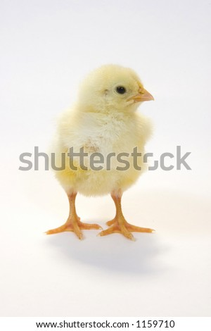a single baby chick looking to its left