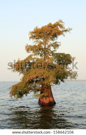 A single bald cypress tree growing in a shallow Louisiana Lake - stock photo