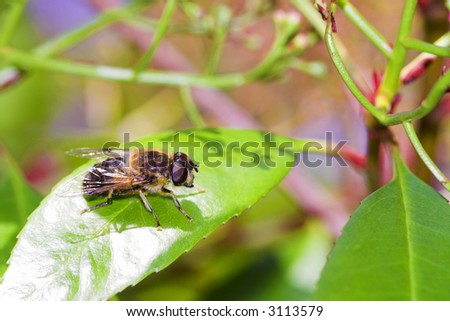A single bee in sunlight on a green leaf - stock photo