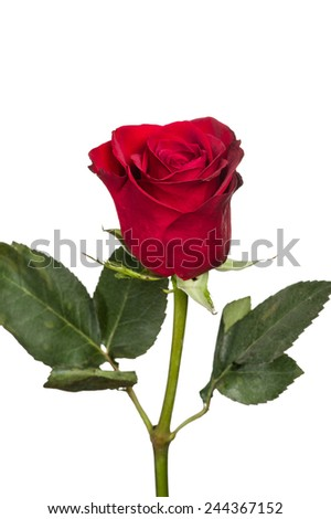 A single bright red rose isolated on white