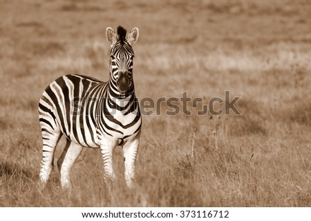 A single Burchell zebra portrait,taken from behind at a low angle in Addo elephant national park,eastern cape,south africa - stock photo