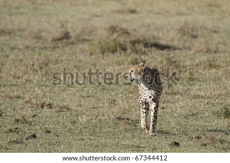 A single cheetah walks the plains of the Masai Mara in search for prey.