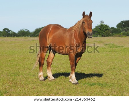 A single chestnut horse stands in a summer paddock. - stock photo