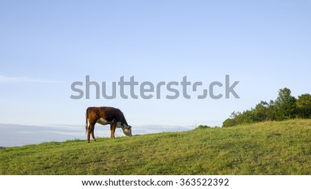 A single cow in a farm meadow in Vermont. - stock photo