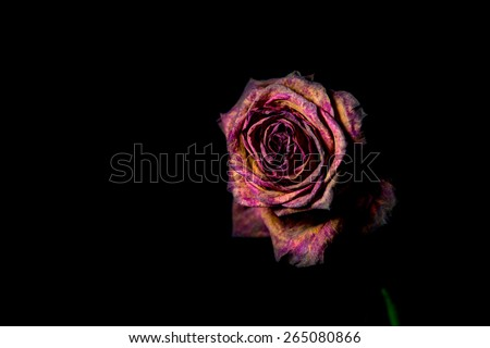 A single dead dying rose against a black background. Shallow DOF.