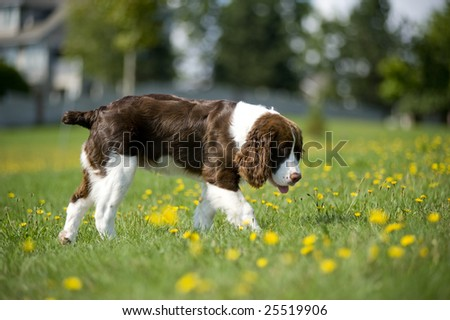 A single English Springer Spaniel walks in a field of grass and daisies. He has a sad look on his face.