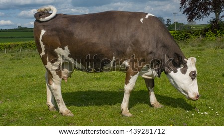A single female cow eating green grass