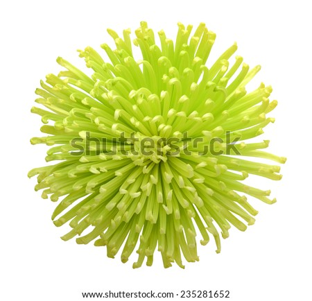 A single green chrysanthemum flower