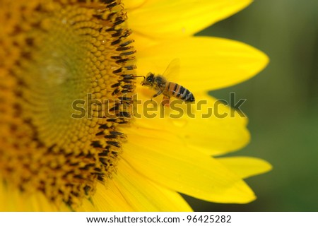 A single honey bee buzzes in flight before landing on a large yellow sunflower on a warm summer day. - stock photo