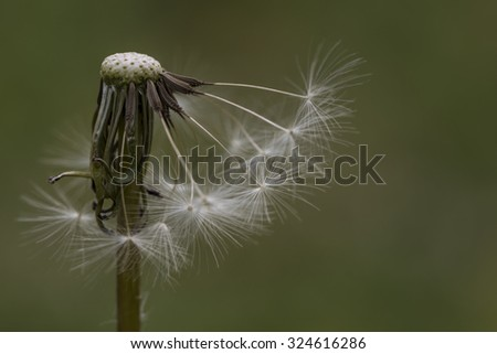 A single isolated dandelion head that has gone to seed with most of the seeds missing, in close up and cropped view. These are also known as blowballs or clocks. - stock photo