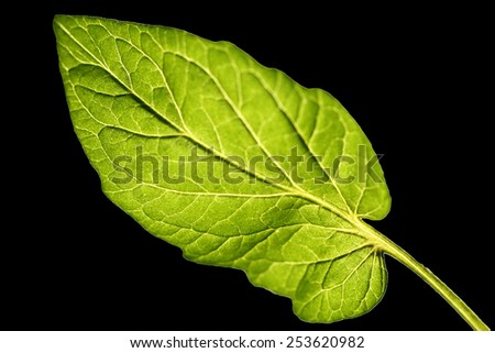 a single leaf with black background, in backlit. - stock photo