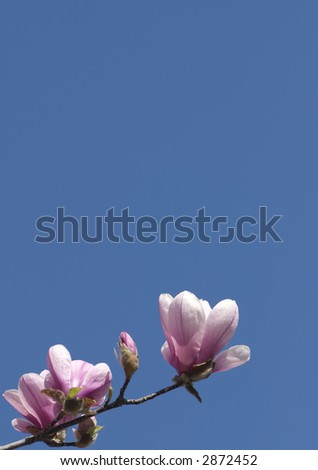A single magnolia branch with blossoms reaches into the deep blue sky.