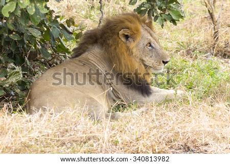 A single Male lion sitting by a bush - stock photo