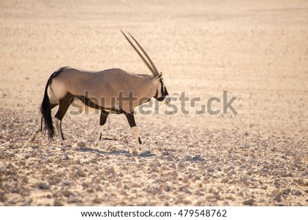 A single oryx walks along in the sand of the hot Namib Desert.