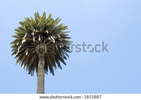 A single palm tree. - stock photo