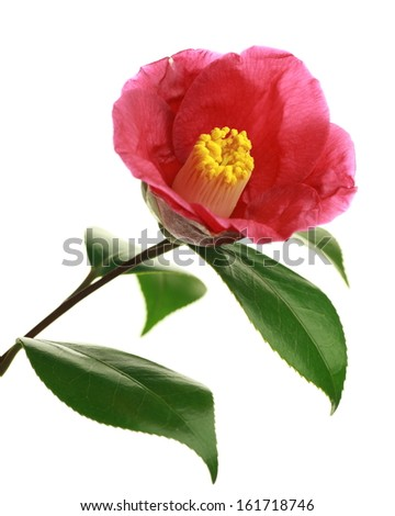 A single pink flower with four green leaves. - stock photo