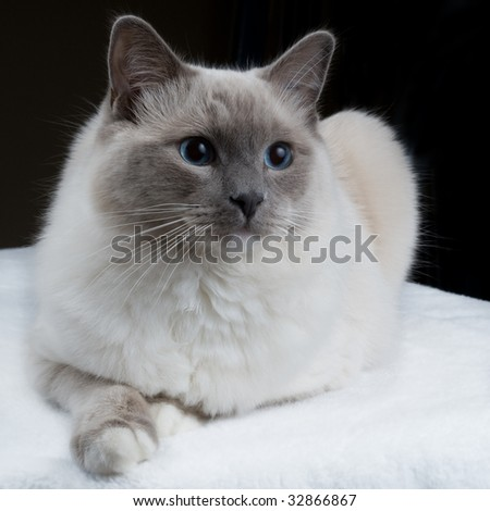 "A single Ragdoll ""mittens"" cat looks away from the camera."