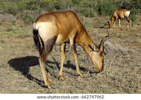 A single red hartebeest grazing in the foreground while another herd member can be seen in the background