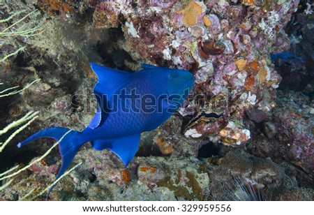 A single red toothed triggerfish (Odonus niger) tropical fish against a coral encrusted rock background on a coral reef on an offshore island in the Musandam peninsula, Oman, in the straits of Hormuz