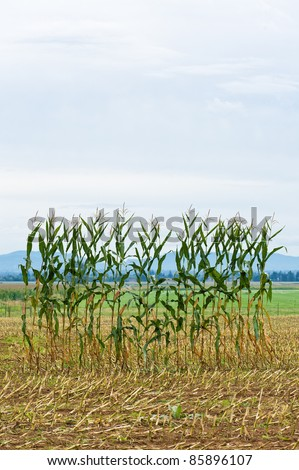 A single row of corn left in the middle of a corn field after harvest - stock photo