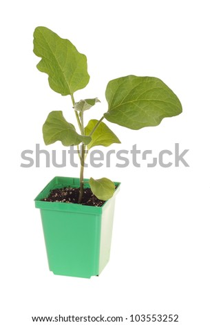 A single seedling of an eggplant (Solanum melongena) ready to be transplanted into a home garden isolated against a white background