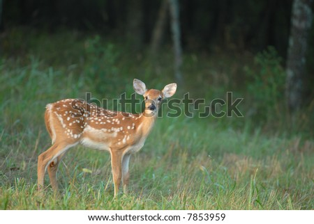 A single spotted fawn stands near the edge of a dark forest. - stock photo
