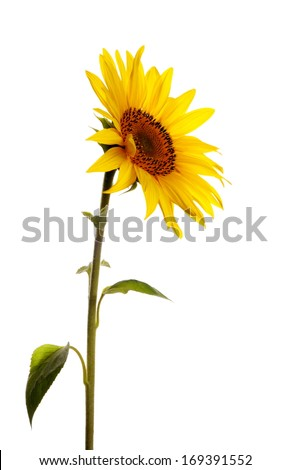a single sunflower isolated on white background - stock photo