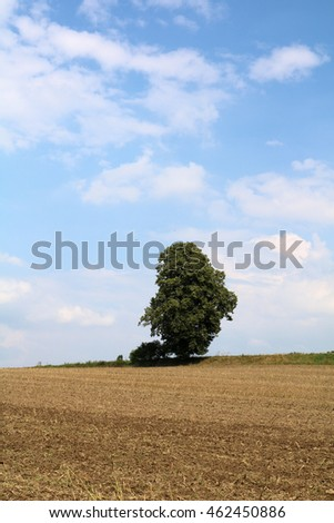 A single tree on a corn field and blue sky (space/head room for copy text/headline)