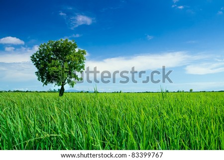 A single tree on the rice field and blue sky. - stock photo