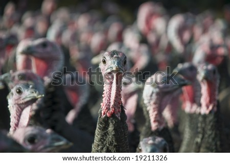 A single Turkeys head with other Turkeys in the background out of focus - stock photo