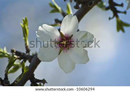 A single white almond blossom in Spring. - stock photo