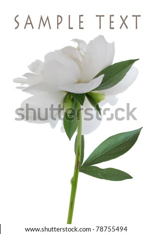 A single white peony isolated on a white background
