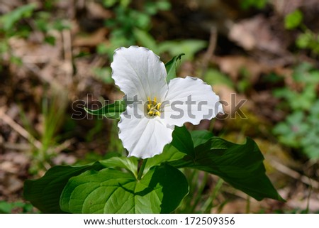 A single White Trillium growing on the forest floor.  Trillium grandiflorum is the official emblem of the Province of Ontario and the State Wildflower of Ohio.  - stock photo