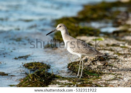 A single willet (Tringa Tringa ) on a Florida beach