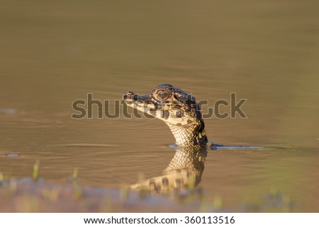 A single Yacare Caiman  baby (Caiman yacare)  with it's head sticking out of muddy water, Pantanal, Brazil - stock photo