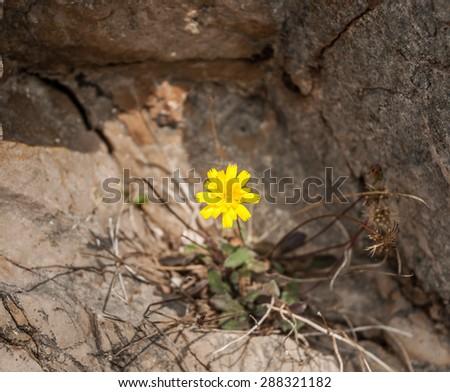 A single Yellow Hieracium (hawkweed) wildflower growing in rock. - stock photo
