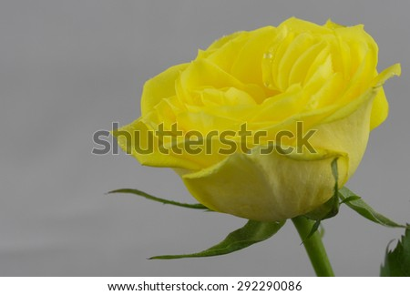 A single yellow rose  in close up against a light background. small water droplets are visible on the petals. - stock photo