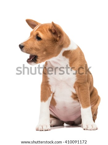 A sitting basenji puppy looking sideways barking