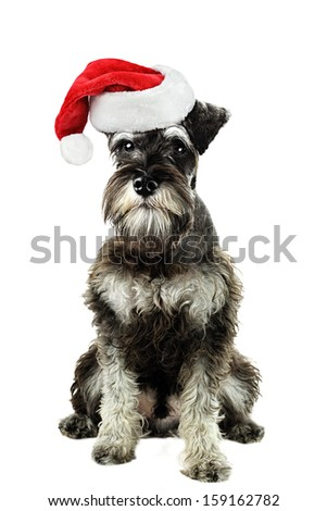 A six month old salt and pepper miniature schnauzer isolated against a white background wearing a Christmas hat.
