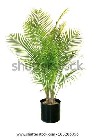 A Six to Seven Foot Majesty Palm Isolated on White - stock photo