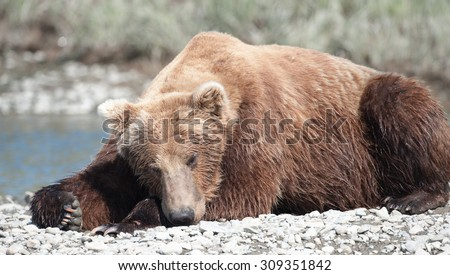 A sleeping brown bear; lying on a rock island in the middle of a river